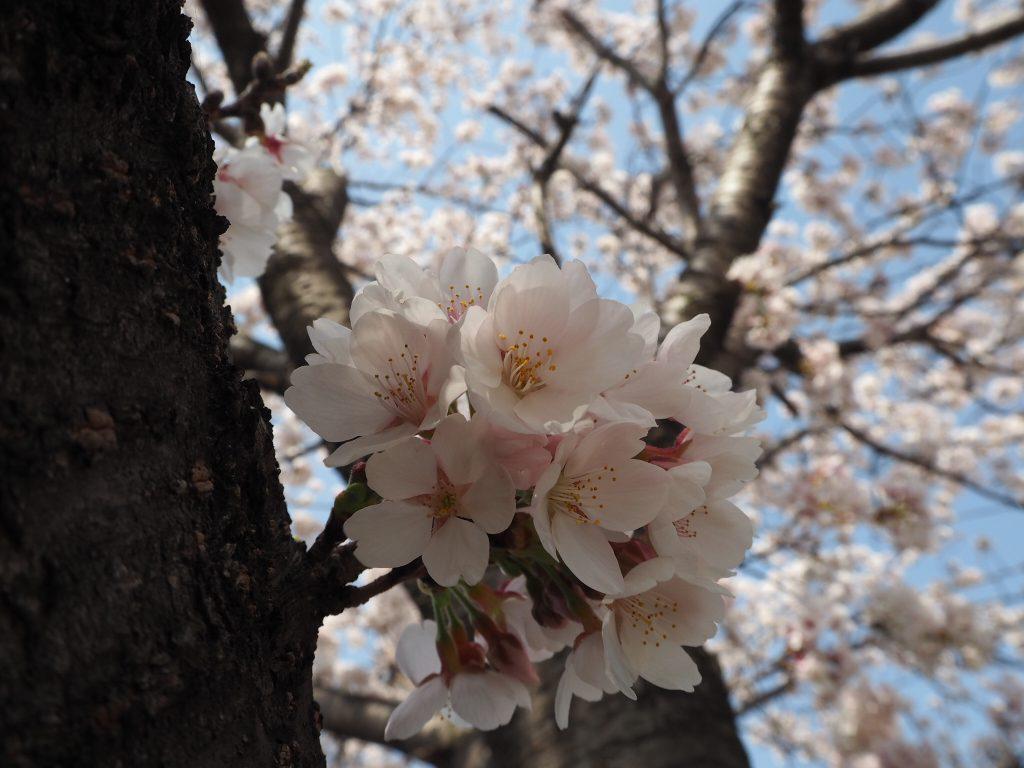 今年、お花見ゆけましたか? わたしは、ちかくの公園にちょっと行って写真撮ってきました。これだけで、春満喫!