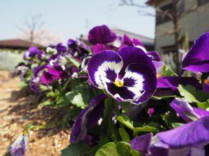 公園にこうやってきれいな花を植えてくださってる方に感謝。